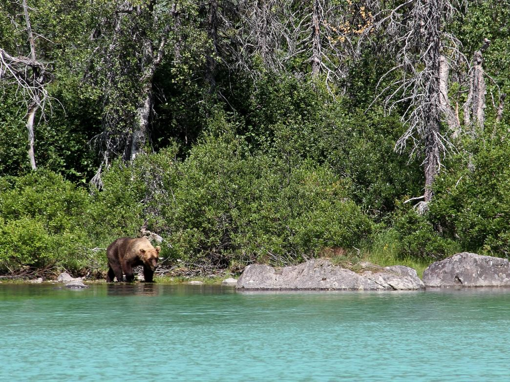 A grizzly bear wanders the shoreline of Crescent Lake.