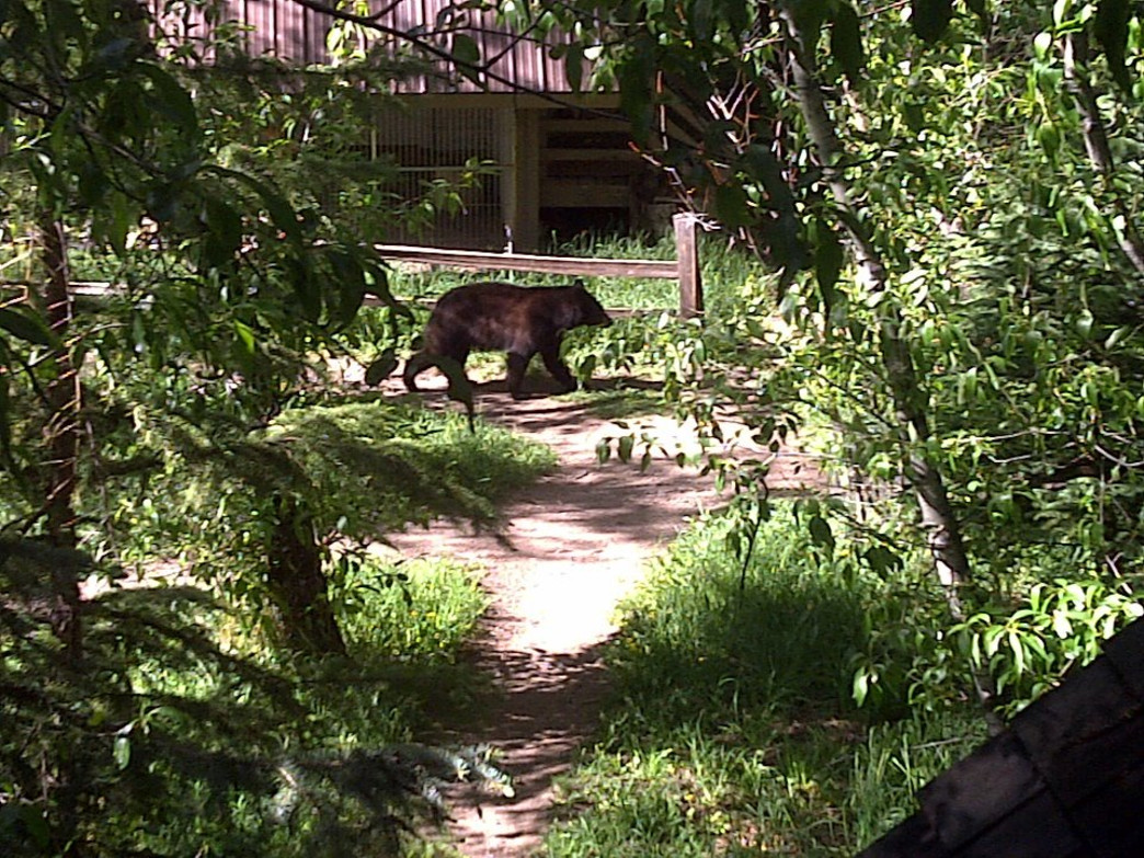 Drought can drive bears to search for food in downtown Aspen or at campsites.