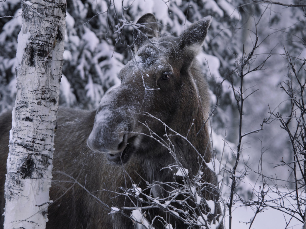 A moose feeding in the winter.
