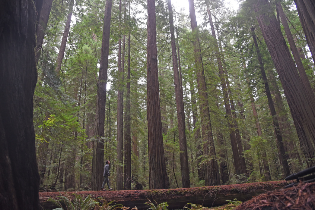 Hiking beneath the tallest trees on Earth.