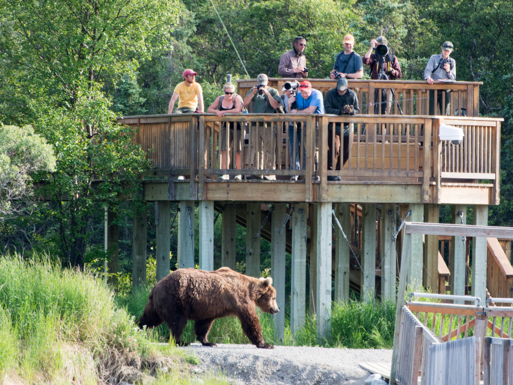 There are three viewing platforms to see the bears, but you can also see them in the backcountry.
