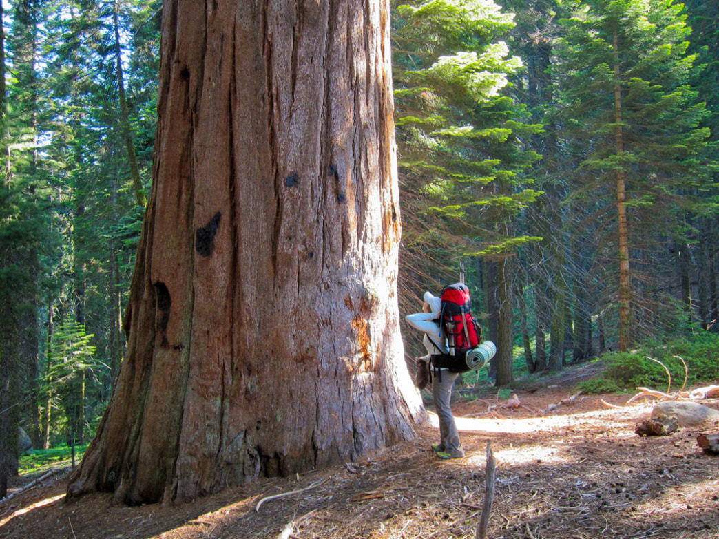Sequoia National Park is home to the largest trees in the world.