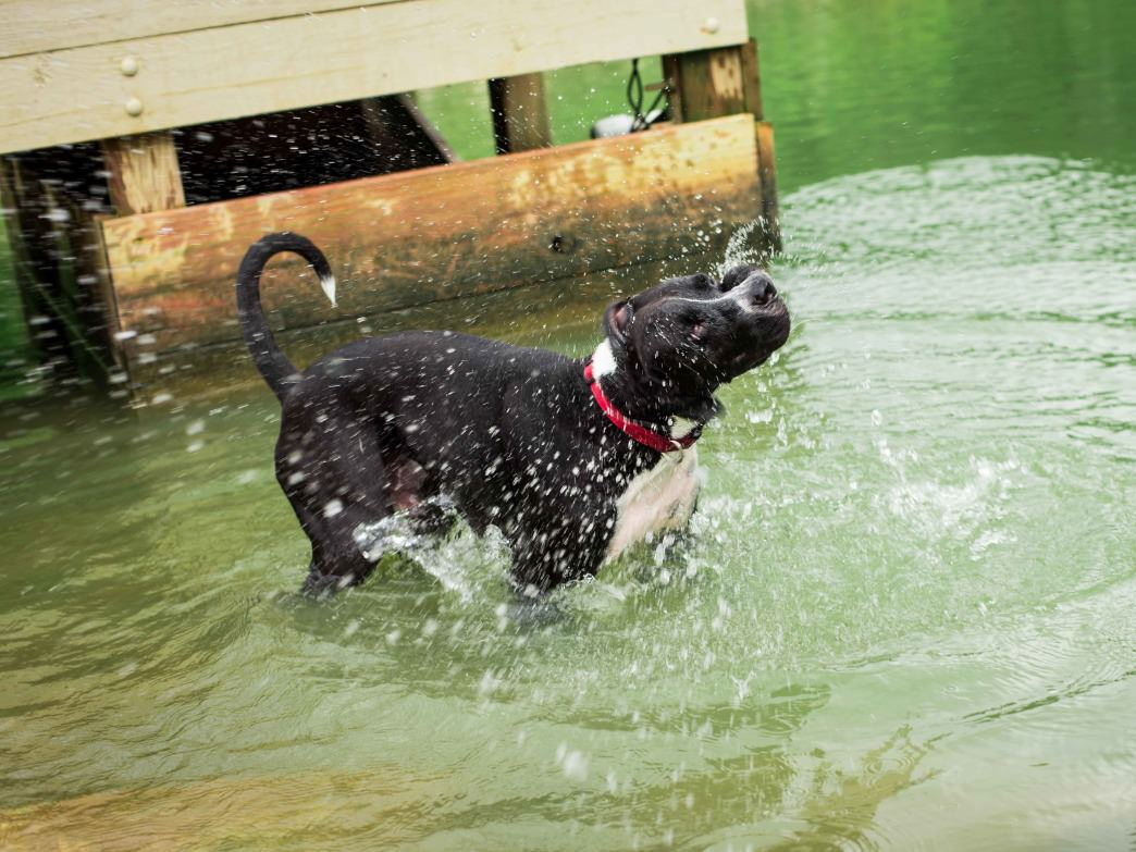 Tommy Schumpert Dog Park features a large pond and jumping dock for dogs looking to take a dip