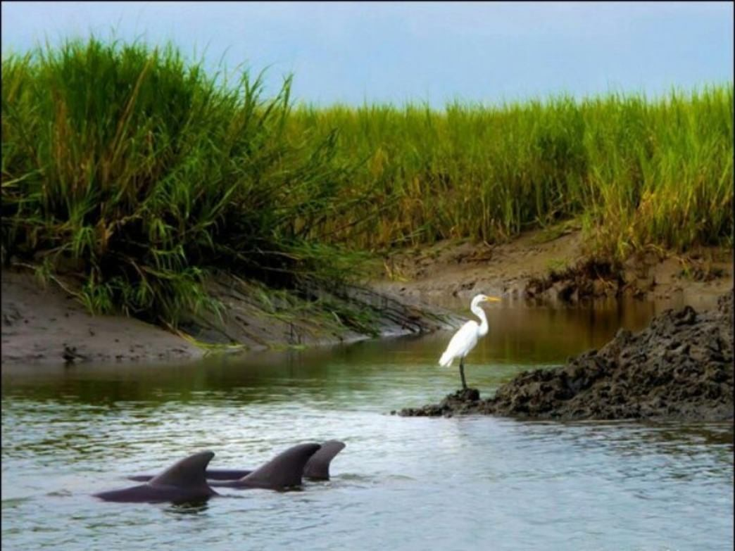 Dolphins swim by a great white egret on Hilton Head Island