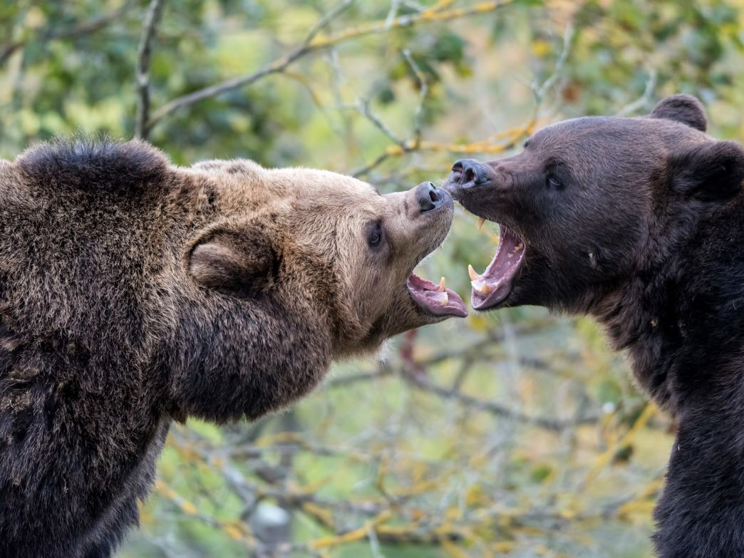 You might not see a showdown like this, but bears in Aspen aren't uncommon.