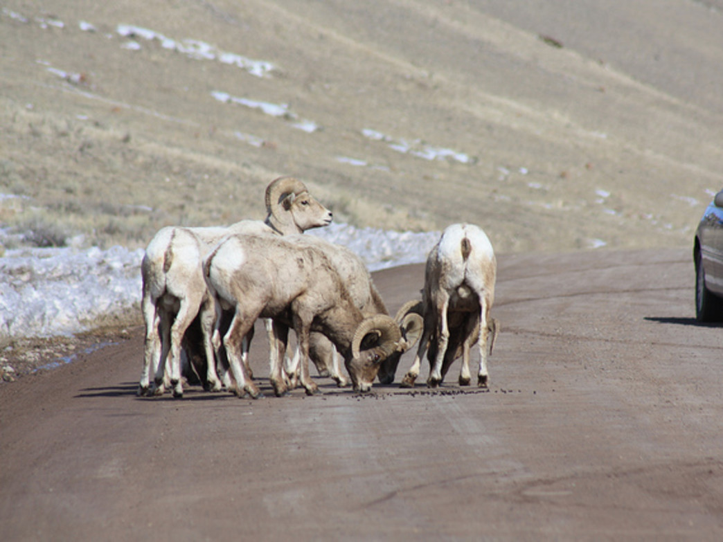 Keep your eyes out for bighorn sheep along (and on) the Elk Refuge Road. They often lick minerals up from the road during the winter.