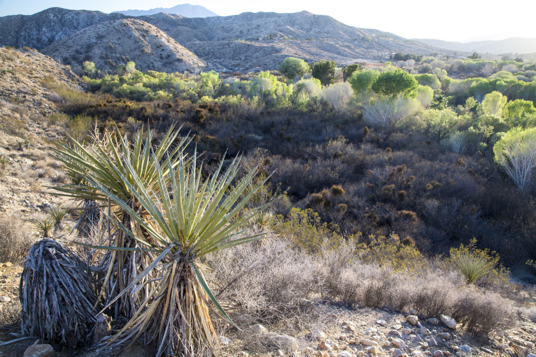 The Morongo Canyon Preserve features a wide variety of trees not seen elsewhere in the region.