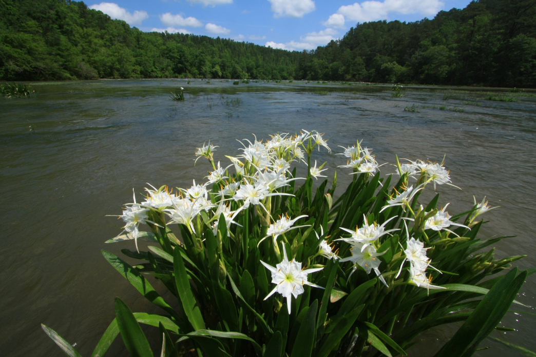 A defining feature of the Cahaba is the rare Cahaba Lily.