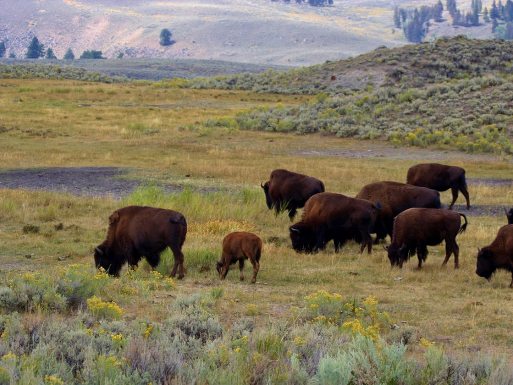 Bison are plentiful in the park.