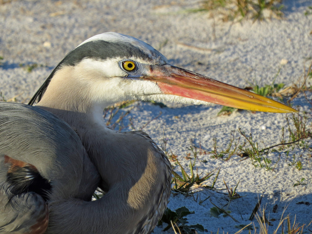 Great blue heron, Destin, Florida.