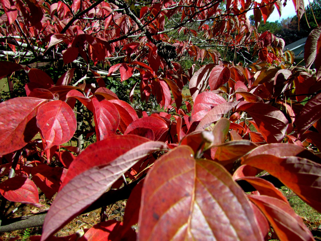 During fall, dogwood trees show off deep burgundy hue.