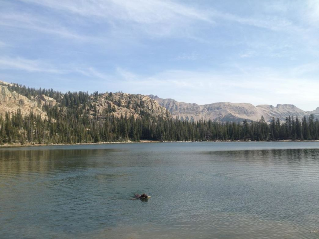 A dog takes a cooling dip in the Uintas.