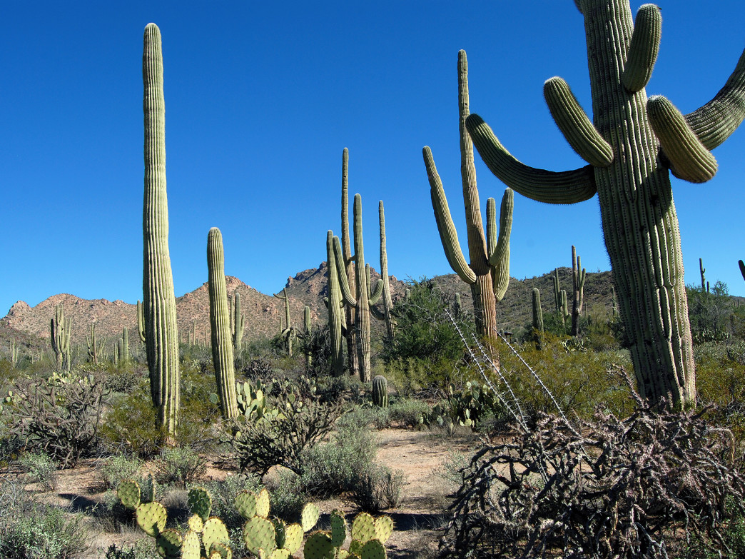 The namesake saguaro cacti.