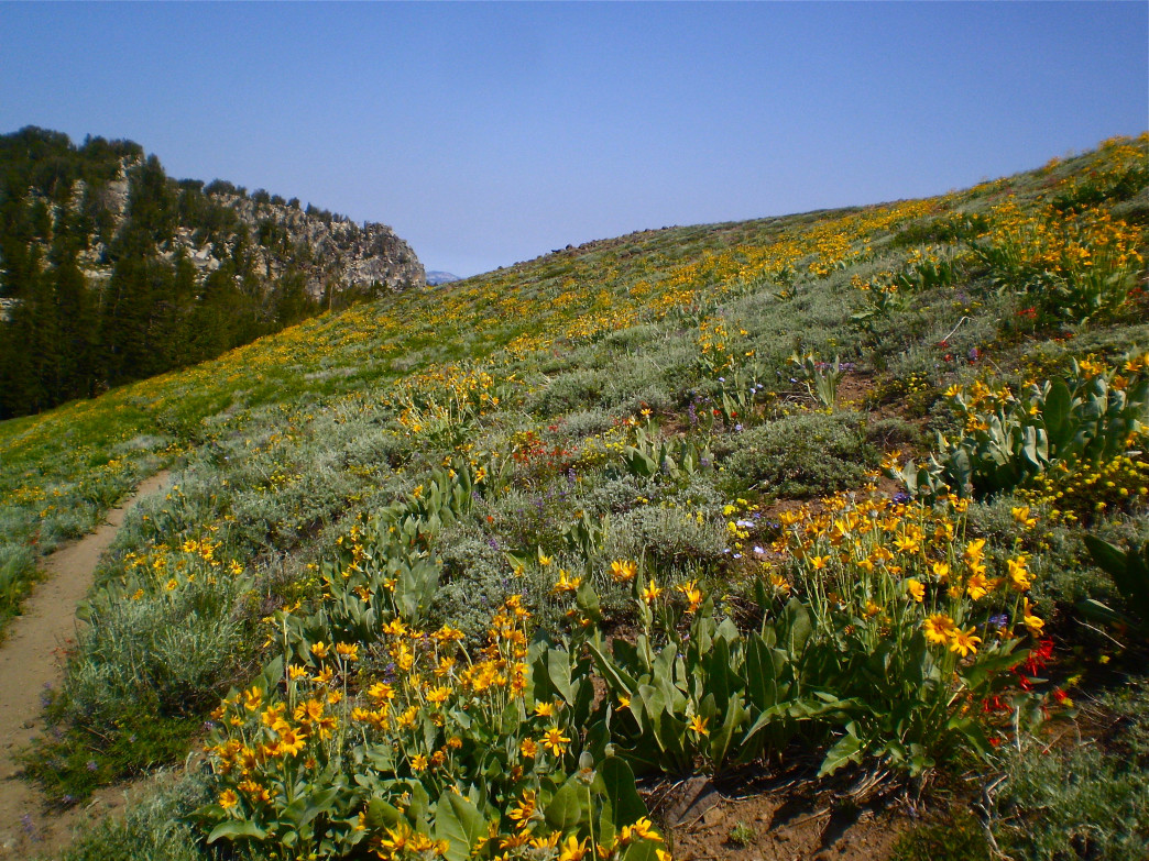Vast swaths of mule's ear blanket the backcountry hillsides of Lake Tahoe.