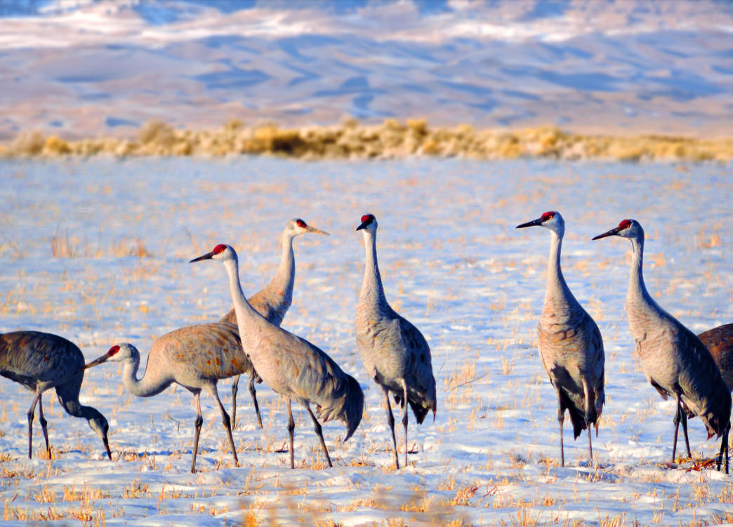 "The Monte Vista Crane Festival takes place on the cranes' ""spring break"" as they migrate each spring."
