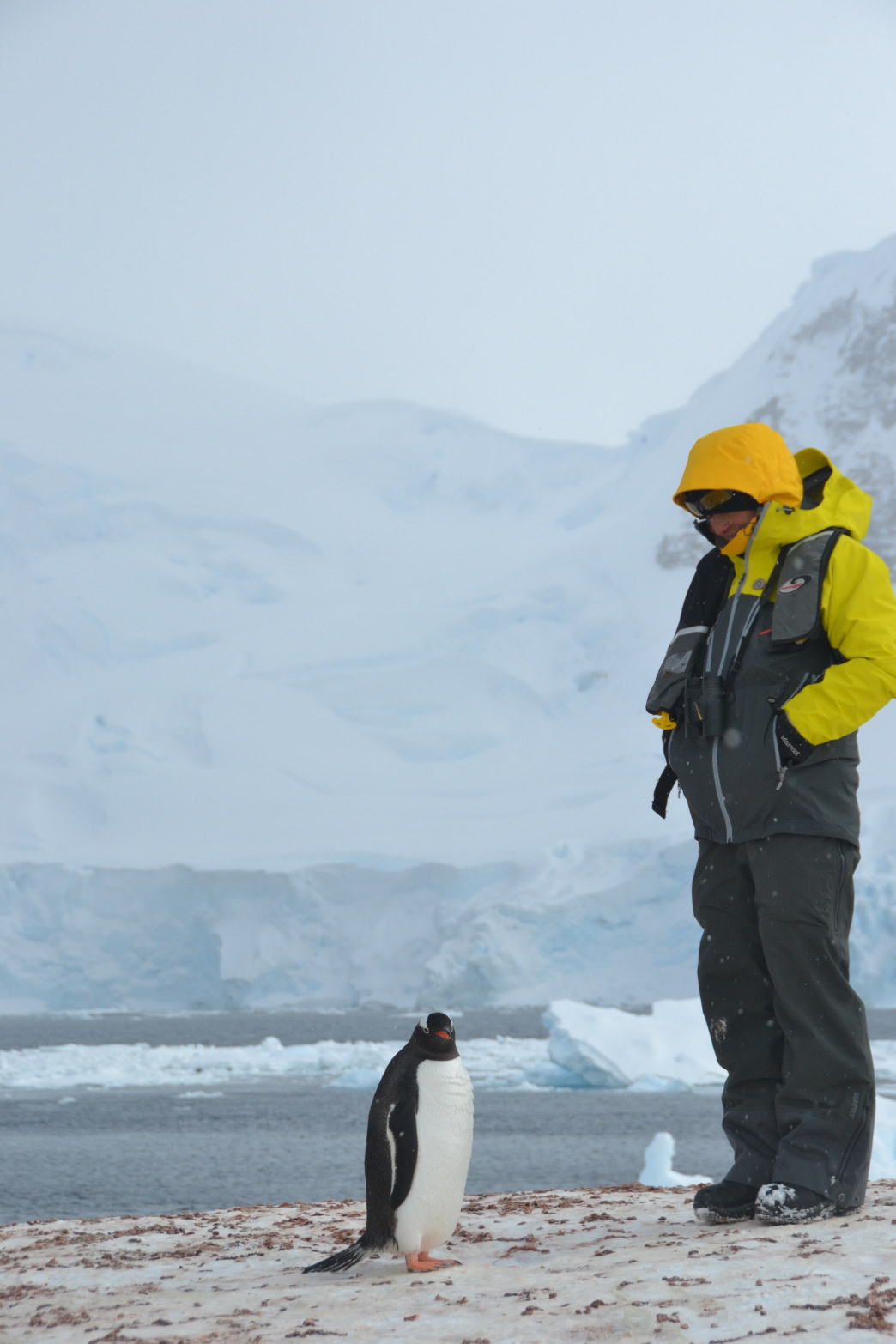 Hawse checks out a curious Gentoo penguin on the 2013 Antarctic Peninsula Ice Axe Expeditions Ski Cruise in 2013.     Shelly Mercer