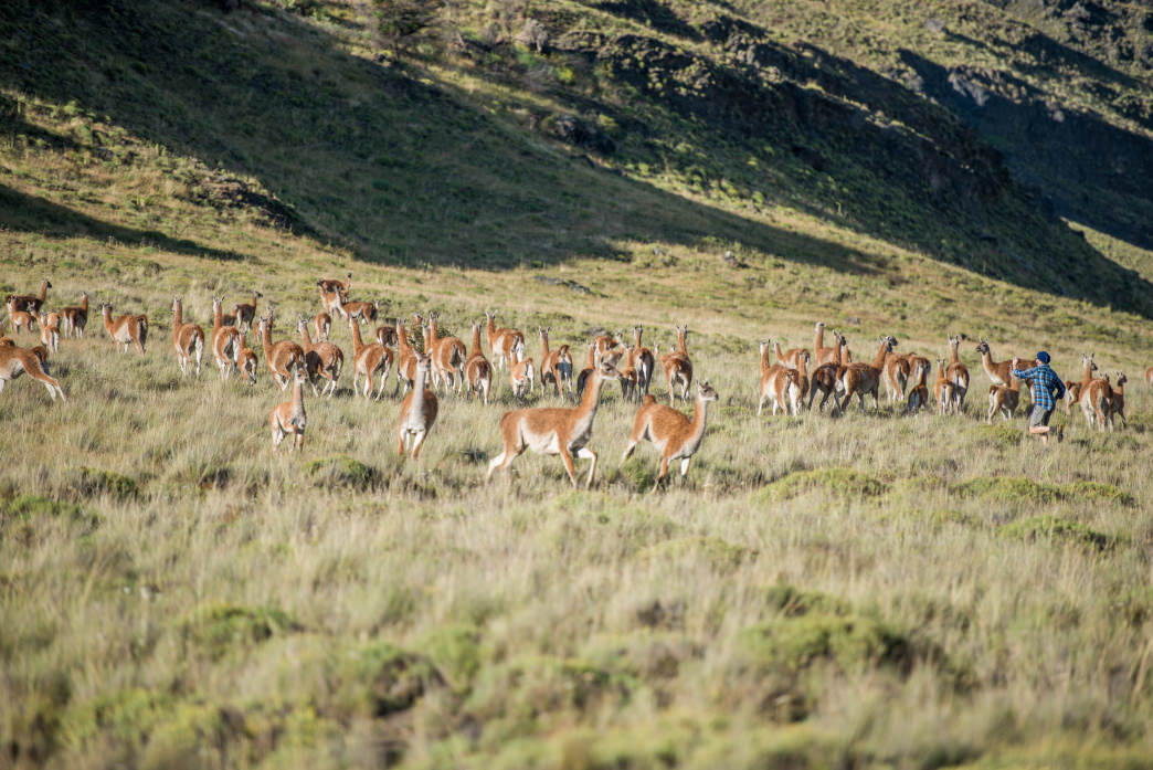 Frolicking alongside guanacos in Valle Chacabuco.