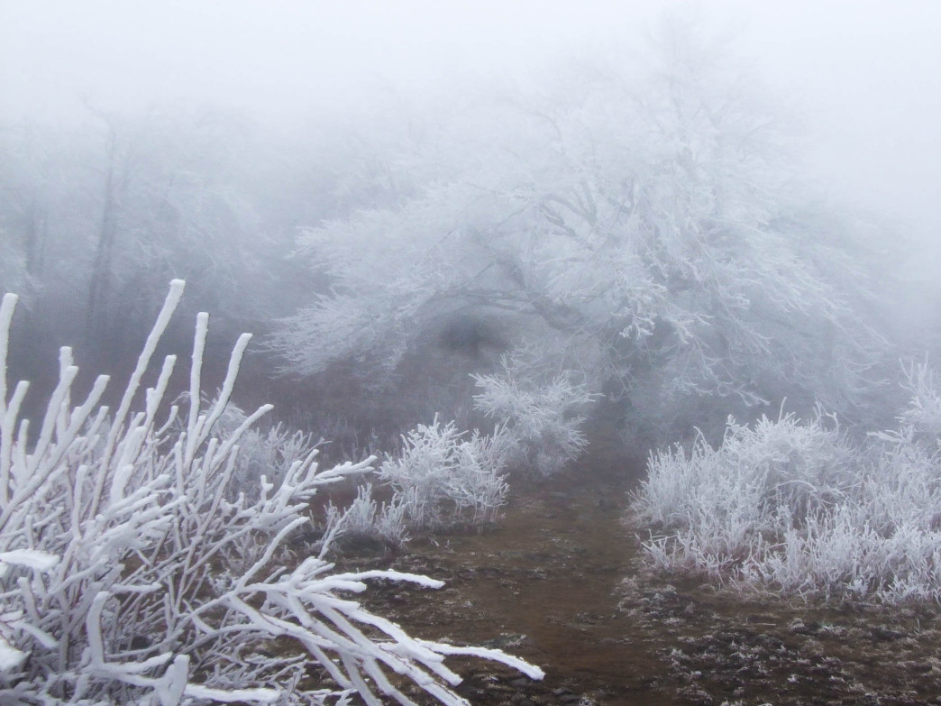 A thick fog falls over the hoarfrost covered plant life along the AT.