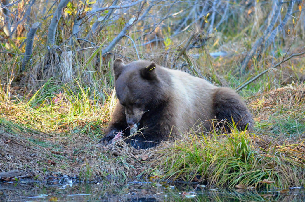 Local black bears can't resist the kokanee salmon feast amidst fall colors at Taylor Creek Visitor Center. Be sure to give the bears plenty of distance! Aaron Hussmann