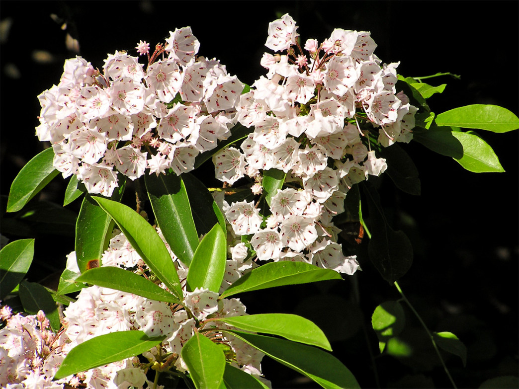 Mountain laurel are one of many wildflower species in DeSoto State Park.