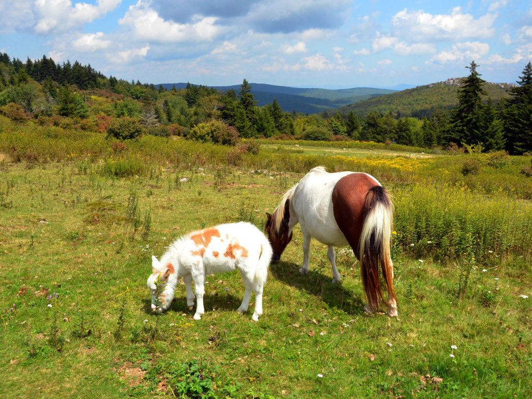 Grayson Highlands State Park is perhaps best known for its free-wandering herd of ponies.