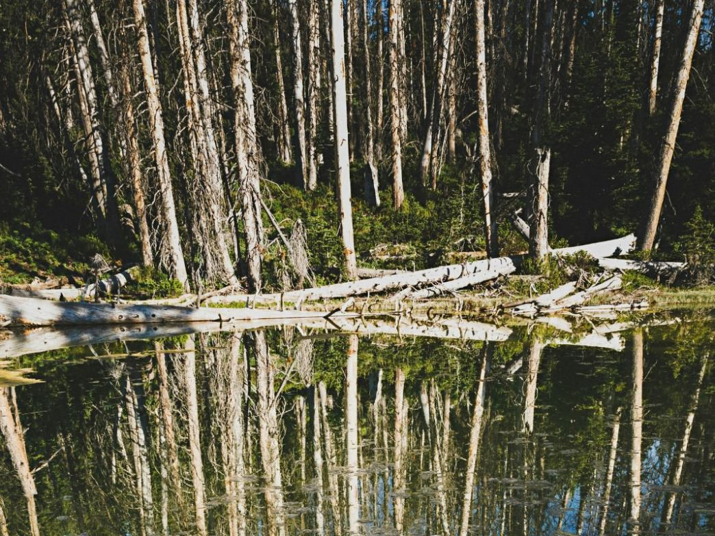 Reflection of a ghost spruce forest in Alpine Pond, Cedar Breaks National Monument. A price beetle outbreak in the mid-1990's decimated the forests in and surrounding Cedar Breaks