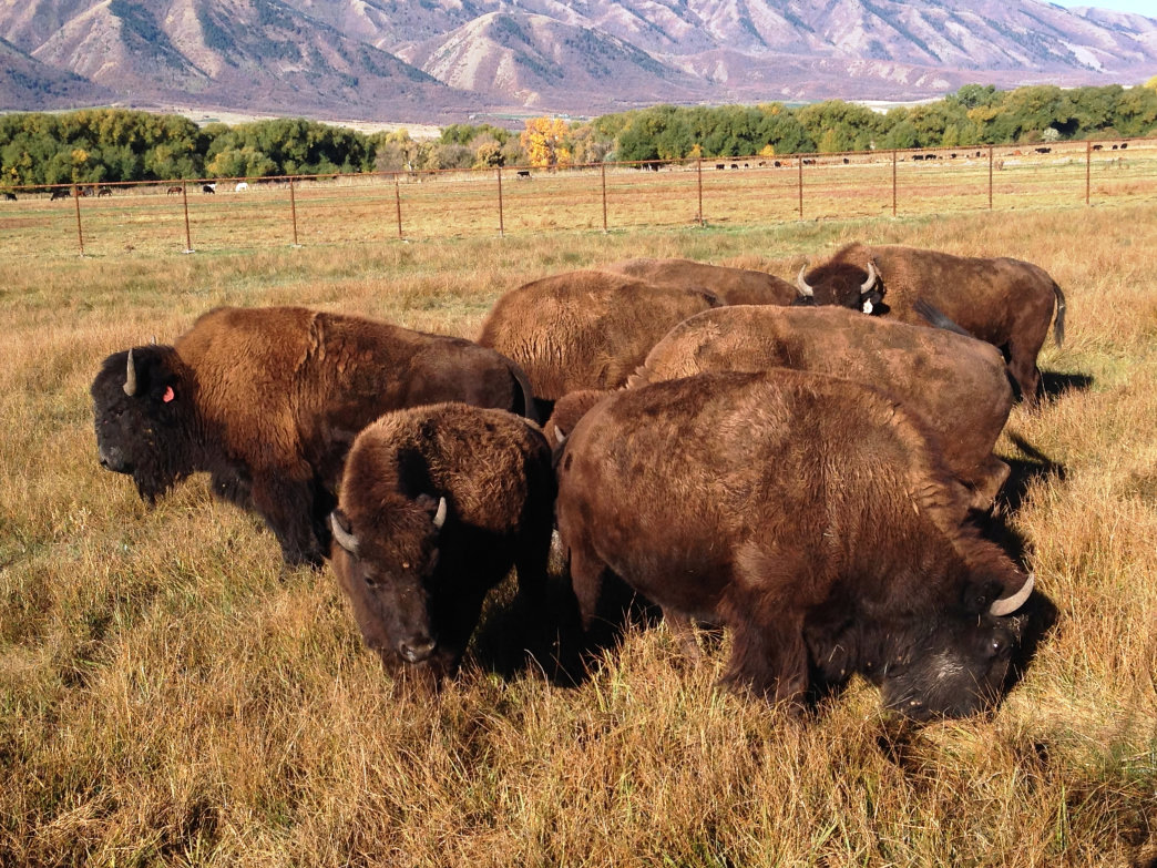 The American West Heritage Center offers visitors a look back at a time when the buffalo roamed—and you can see them for yourself.