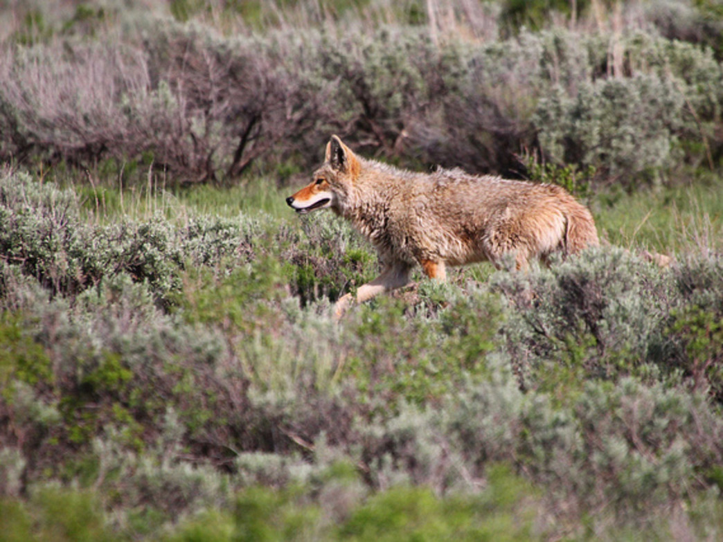 Keep your eyes peeled in the refuge: Coyotes are just one of the many animals you might spot on your run.
