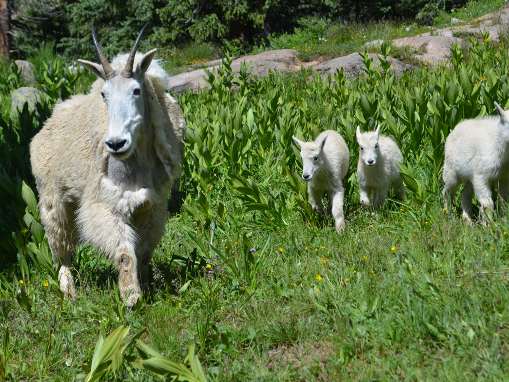 Mountain goats rule Chicago Basin, frequenting campsites in search of some tasty salt snacks found in human urine.