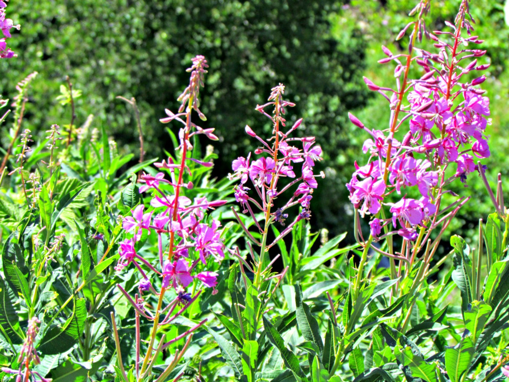 Fireweed along the Pelican Creek Nature Trail.