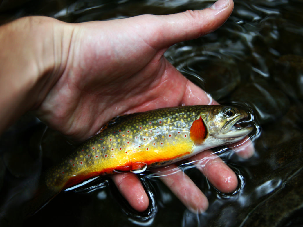 Colorful brook trout are beautiful fish to catch in the waters in the Tennessee Smoky Mountains.