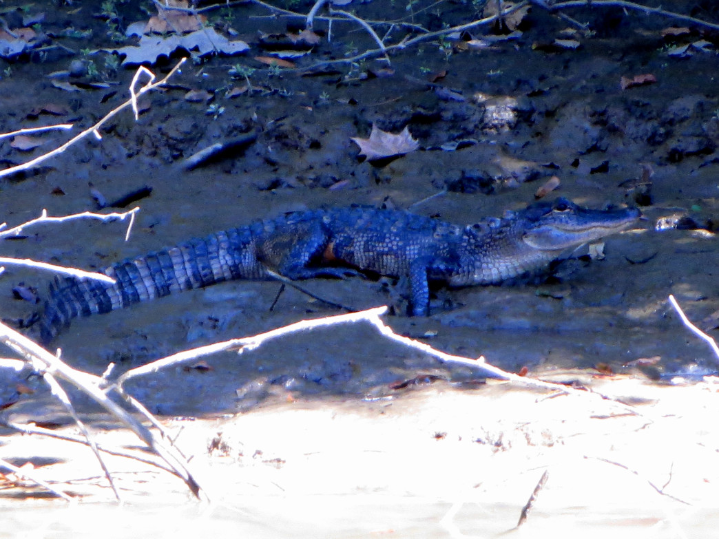 A baby gator along the bayous of the Mobile-Tensaw Delta.