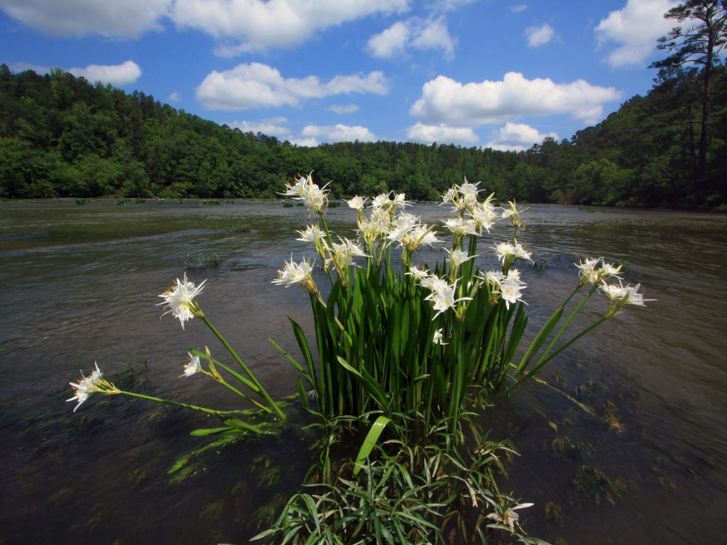 The Cahaba River National Wildlife Refuge is home to the world's largest lily population.