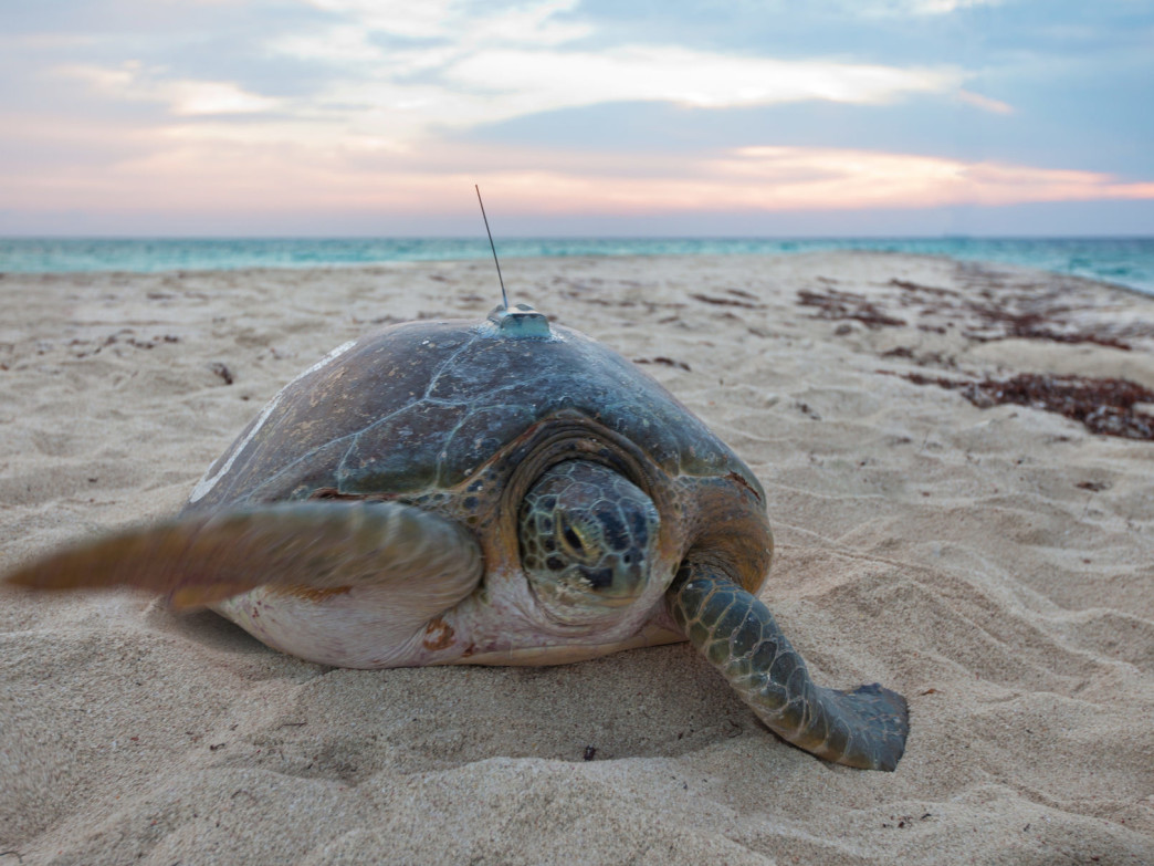 Green turtles are endangered in Florida, so the USGS launched a project to track them at Dry Tortugas National Park.