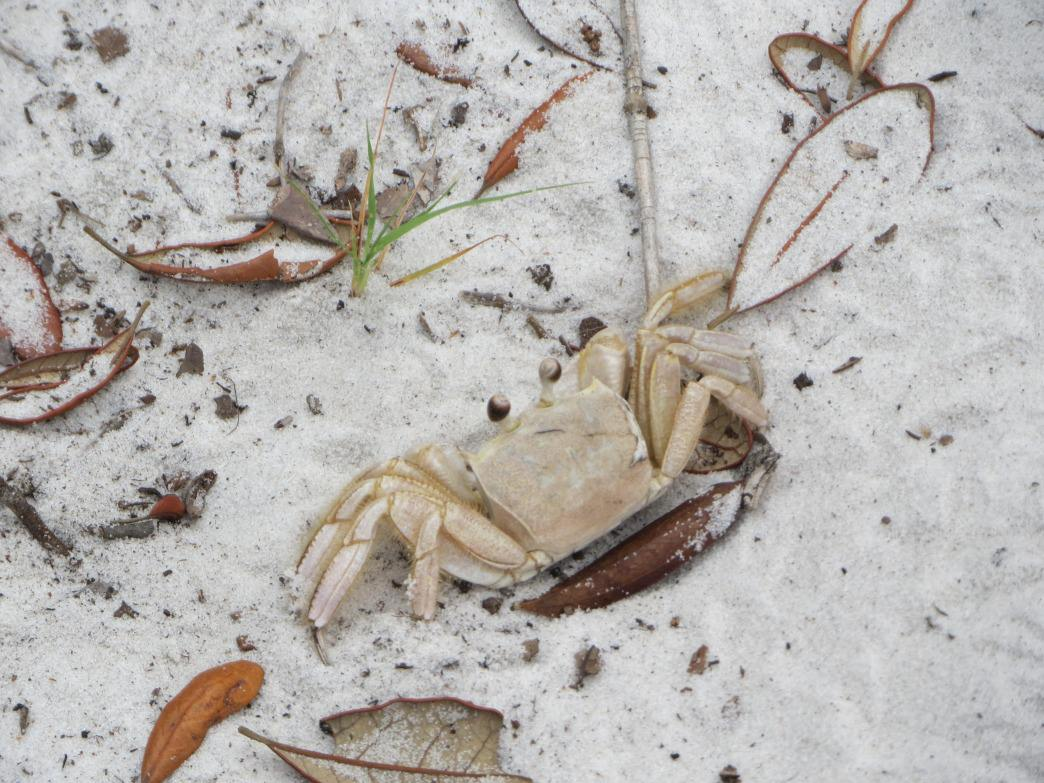 A ghost crab blends in almost seamlessly with the sandy Pine Beach Trail.