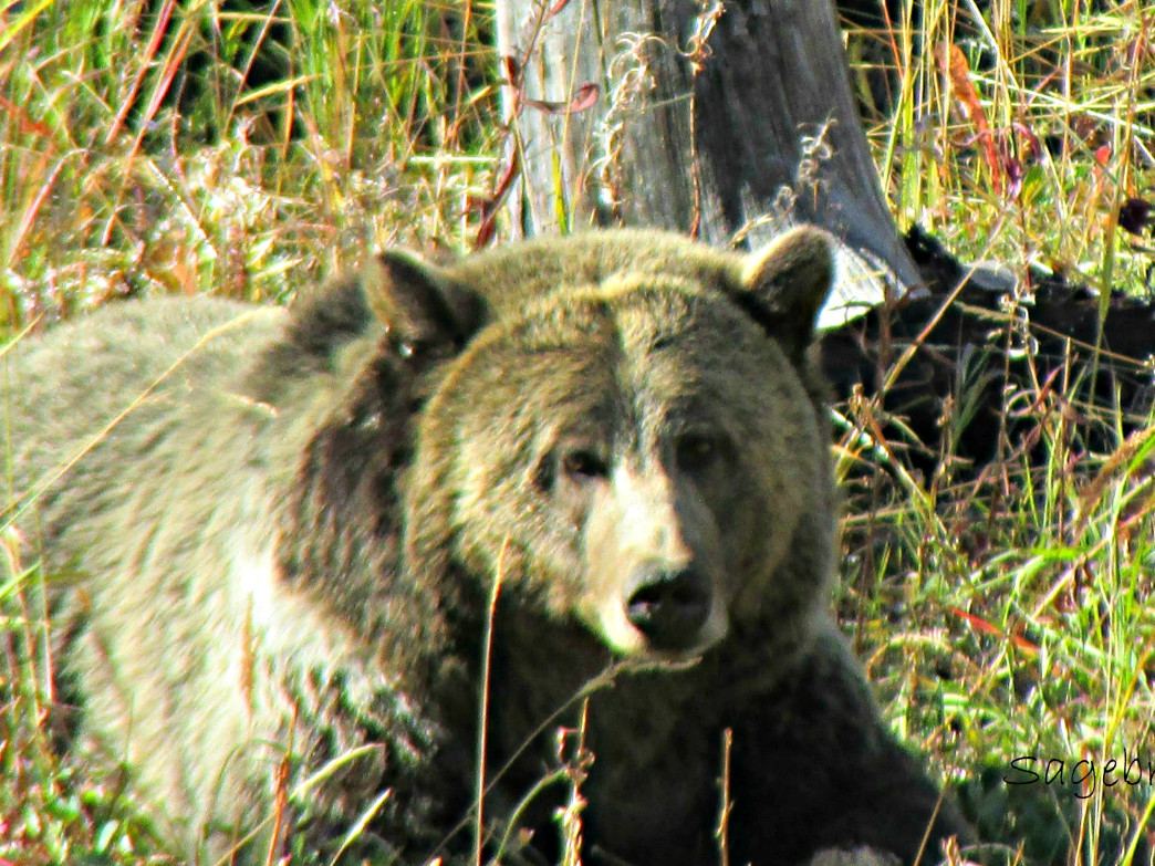 Relaxed grizzly in YNP