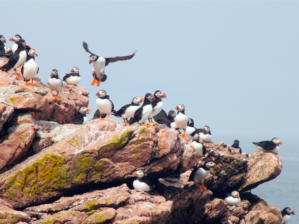 A cruise through Boothbay Harbor offers an excellent chance to see wildlife, especially puffins.
