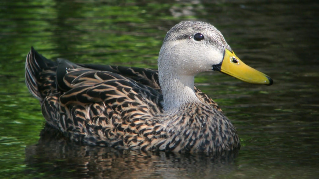 You may see the Mississippi Mottled Duck at the Hancock County Marshes Preserve.