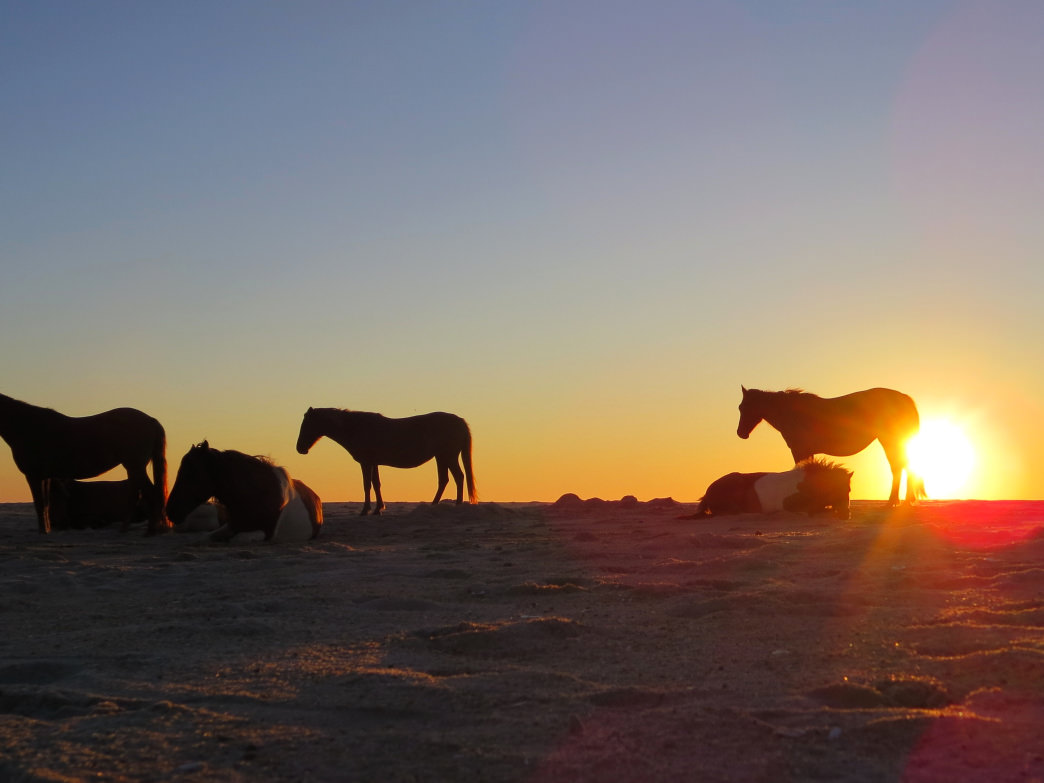 Stop by and see the ponies on Assateague Island.