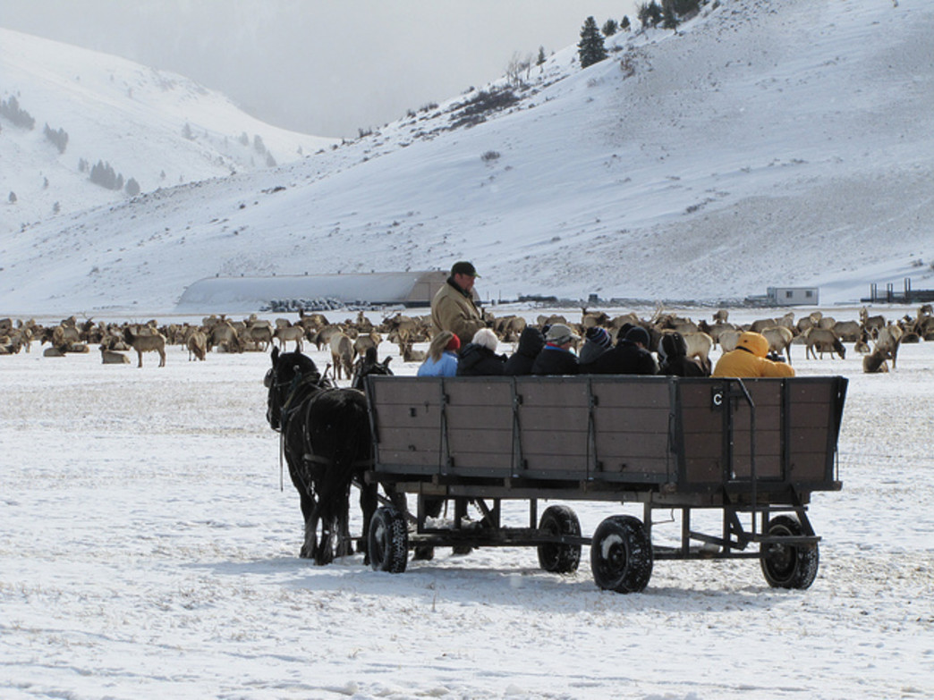 Ride on a horse-drawn sleigh to see thousands of elk at the National Elk Refuge.